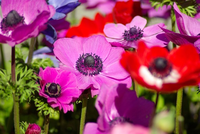 Anemone Flower Availability