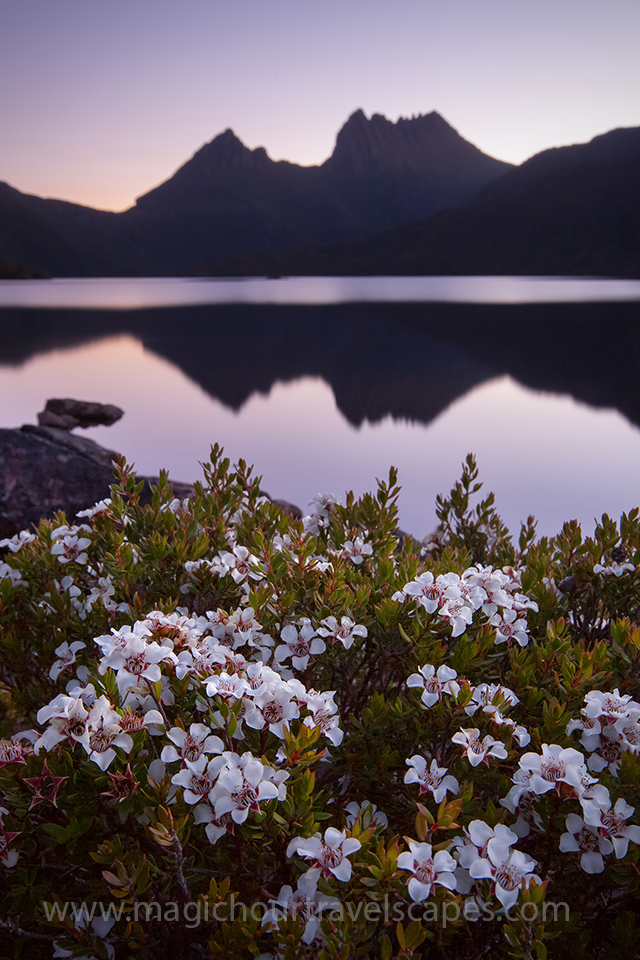 Cradle mountain with flowers in foreground