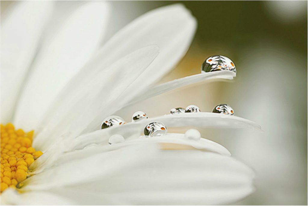 Daisy with reflection in dew drops