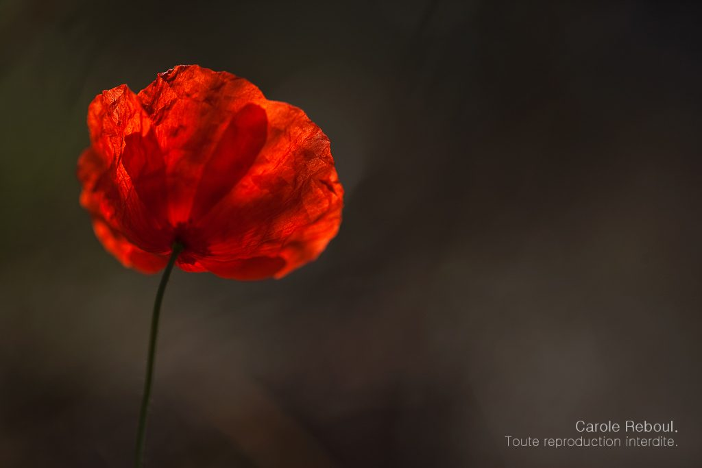 38 amazing flower photos and photographers that you must see all poppy flower by carole reboul mightylinksfo